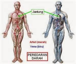 pembuluh darah arteri vena